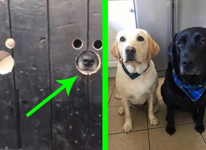 Piccoli fori nella porta trasformano due cani in spie perfette