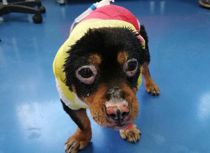 Gara di solidarietà per adottare Fuego, il cagnolino torturato con il fuoco