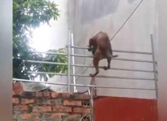 """Il """"cane ragno"""", è il protagonista della fuga più spettacolare mai vista"""