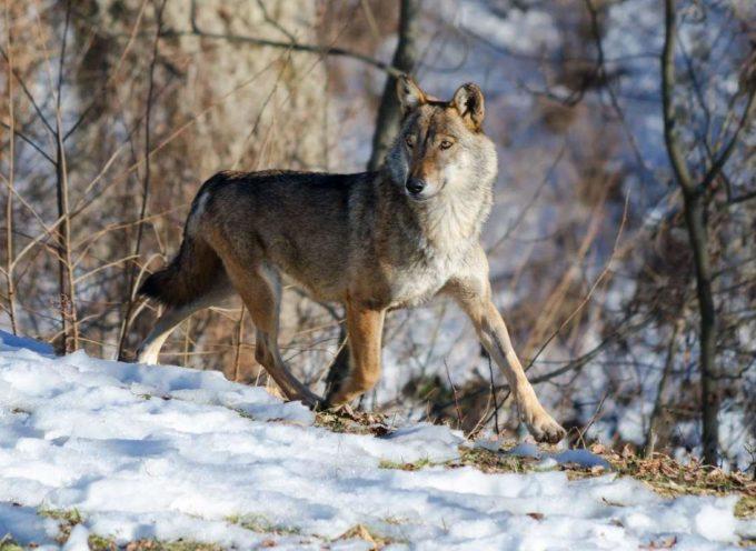 Il Viminale apre all'abbattimento dei lupi 'pericolosi'