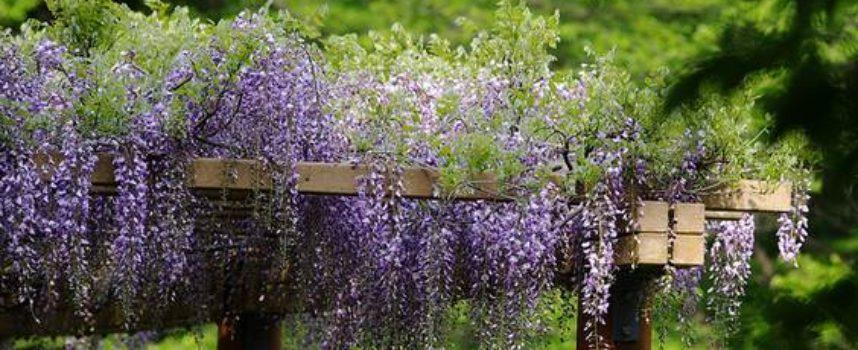 piante rampicanti adatte al pergolato