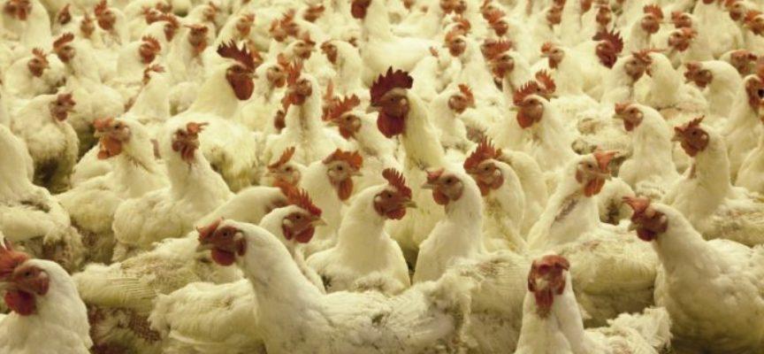 Pollo ucraino, la beffa dopo il danno. Unaitalia: «Dopo aggiramento accordi, Ue concede nuove quote avicole»