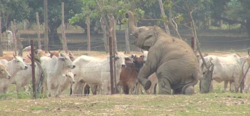 Cucciolo di elefante, danza e dà spettacolo davanti ad una mandria di mucche