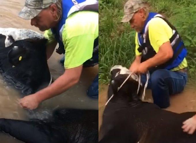 Agricoltori salvano la vita di una mucca che sta per affogare dopo un'inondazione devastante