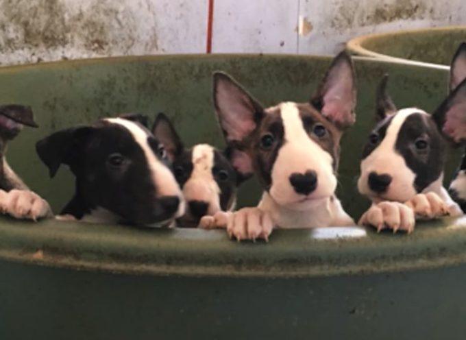 Hanno chiamato i soccorritori per 5 Bull Terrier e hanno finito per salvare 110 cani