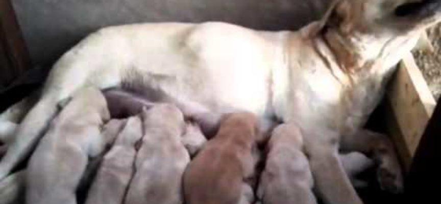 Cloe allatta i cuccioli di Labrador