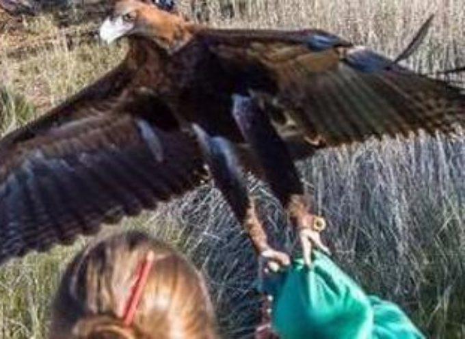 Aquila attacca una bambina e tenta di portarla via