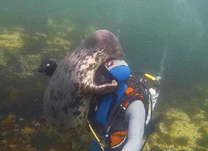 Una foca grigia selvatica abbraccia e tiene per mano un sub