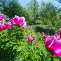 La spettacolare fioritura delle Peonie