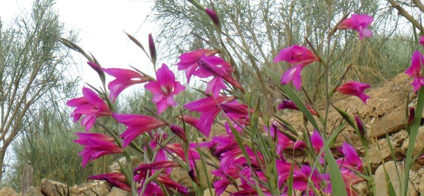 I fiori di maggio: il gladiolo dei campi (Gladiolus italicus)