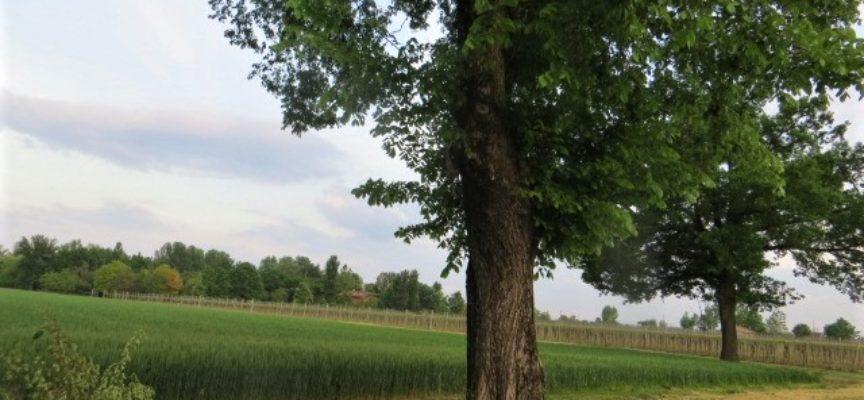 due grandi olmi sembrano di vedetta presso un campo di grano.