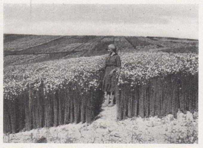 Il lino è la pianta tessile più antica ed è originaria dell'Asia Minore