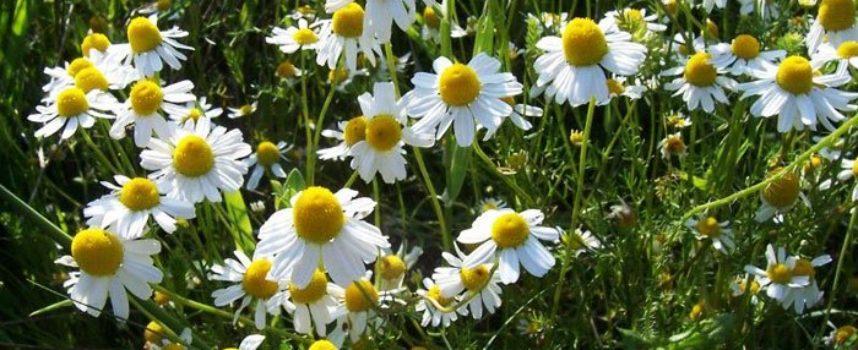 Le buone erbe officinali: la Camomilla.