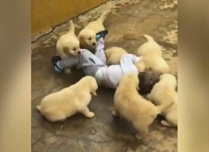 Il tenero attacco di 7 mini cuccioli Golden Retriever verso un bimbo di 2 anni