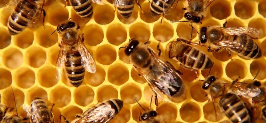 Senza api siamo tutti in pericolo: è allarme in Italia, raccolta e produzione di miele azzerata