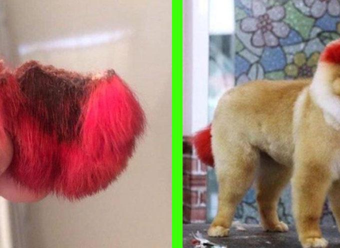 Le orecchie del cane cadono dopo che il proprietario le ha tinte di un rosso acceso