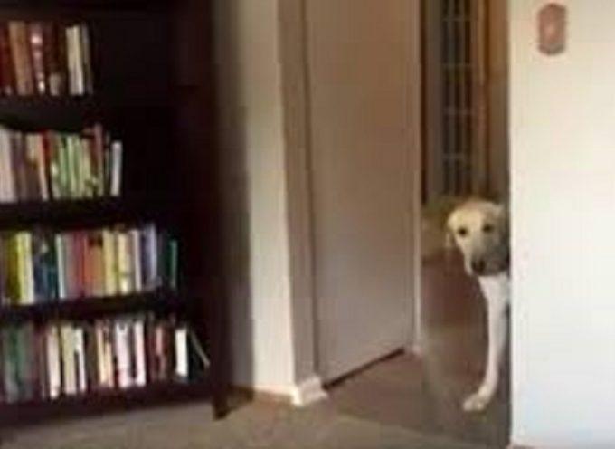 Cane terrorizzato quando deve passa da una stanza ad un'altra. Lo stratagemma che usa è geniale!