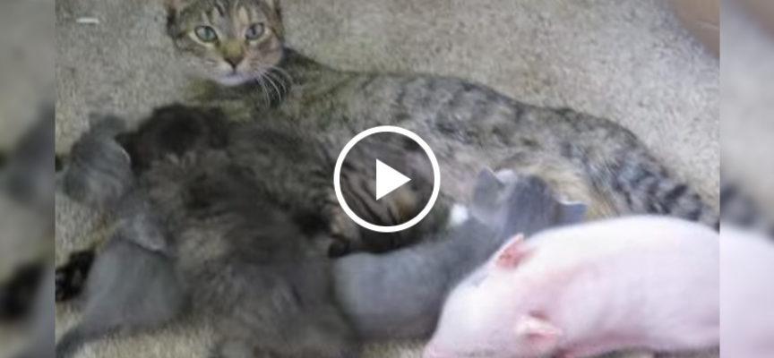 Questo porcellino Potbelly è cresciuto con 4 gattini birichino. Ora, pensano che sia uno di loro.