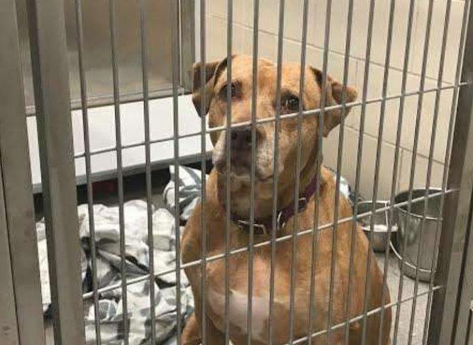 Hanno ritrovato il cane perso, la sua famiglia ha promesso di andare a prenderla, ma non l'hanno mai fatto