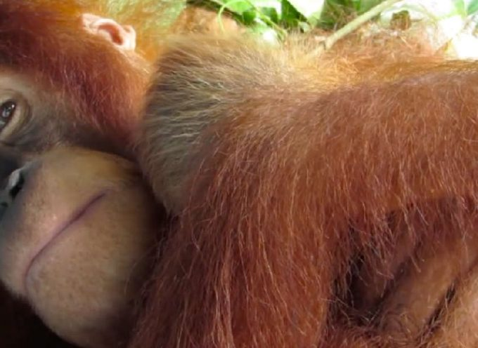 Una mamma di oranghi abbraccia teneramente il suo cucciolo appena nato