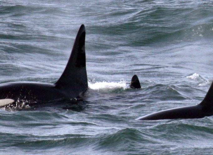 Drone cattura una famiglia di orche che nuotano con una donna in Nuova Zelanda