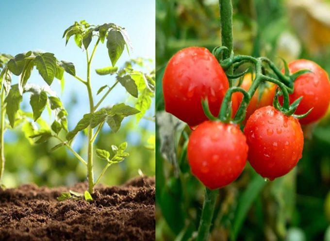 Come scegliere una pianta di pomodoro e trucchi per fare frutti più succosi