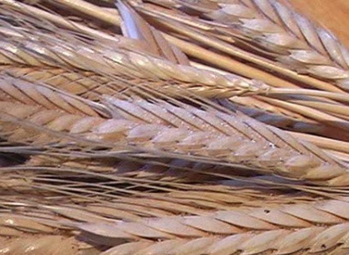 Piccolo farro, il 'grano' antico che aiuta a prevenire la celiachia