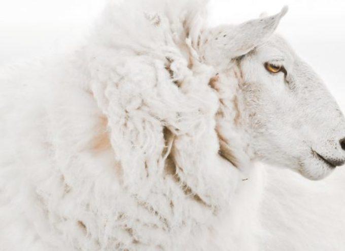 9 mila tonnellate l'anno di lana appena tosata finiscono in discarica