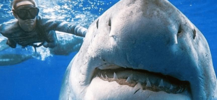 I subacquei incontrano il più grande squalo bianco mai registrato
