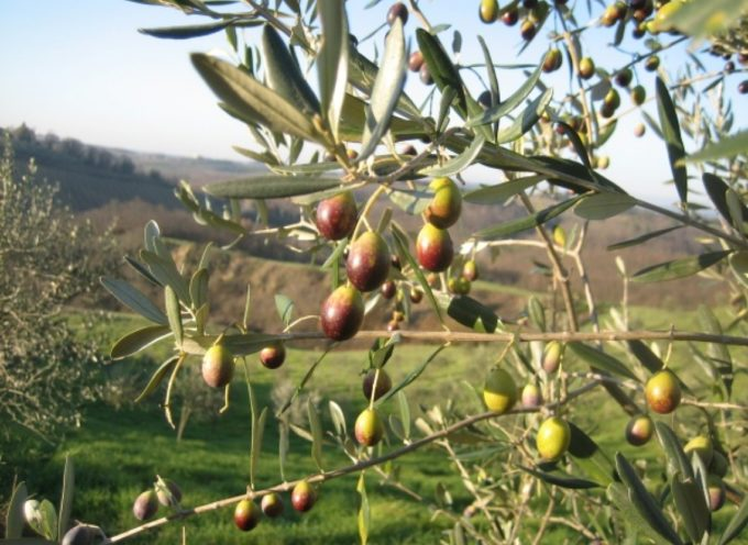 La Xylella arriva anche in Toscana