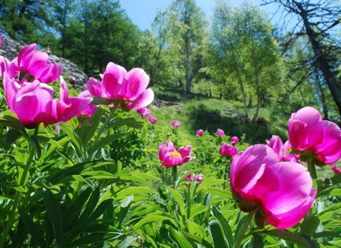 Escursione Apuantrek 9 giugno: La spettacolare fioritura delle Peonie selvatiche