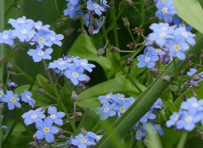 I fiori romantici: il Non ti scordar di me ( Myosotis) color del cielo…