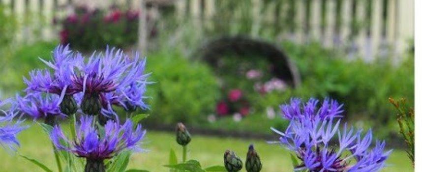 I fiori della tarda primavera: il fiordaliso (Centaurea cyanus).