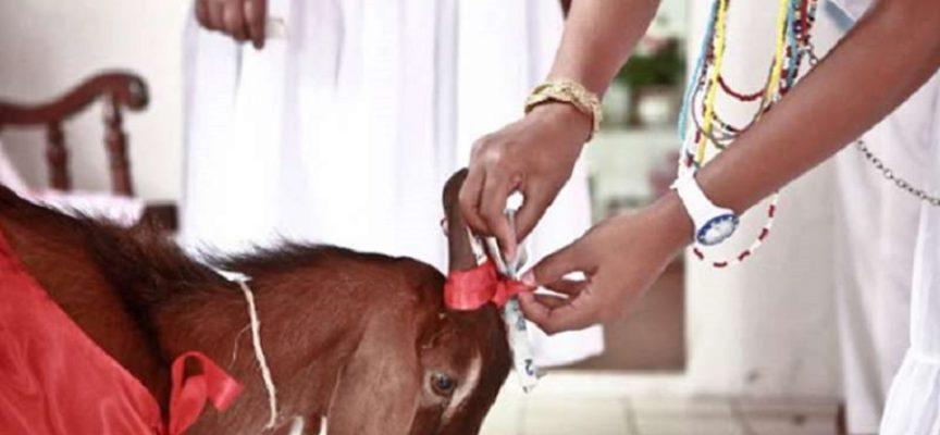 STF decide che il sacrificio animale è costituzionale