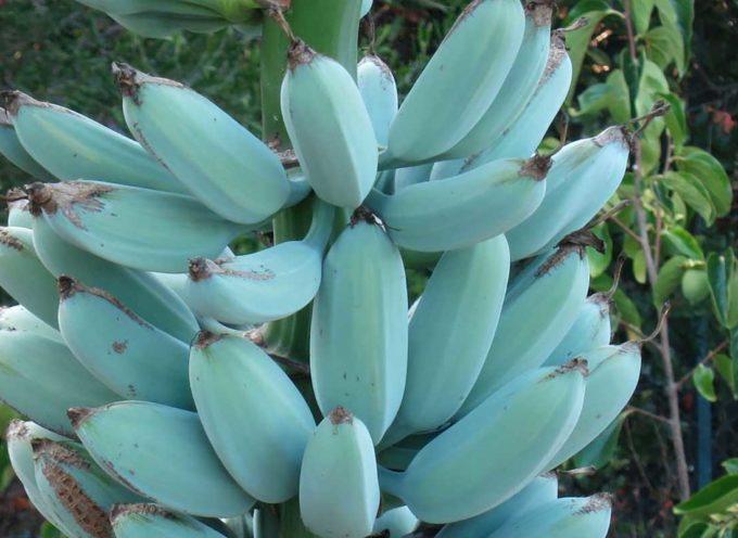 Blue Java: le banane blu che sanno di gelato alla vaniglia