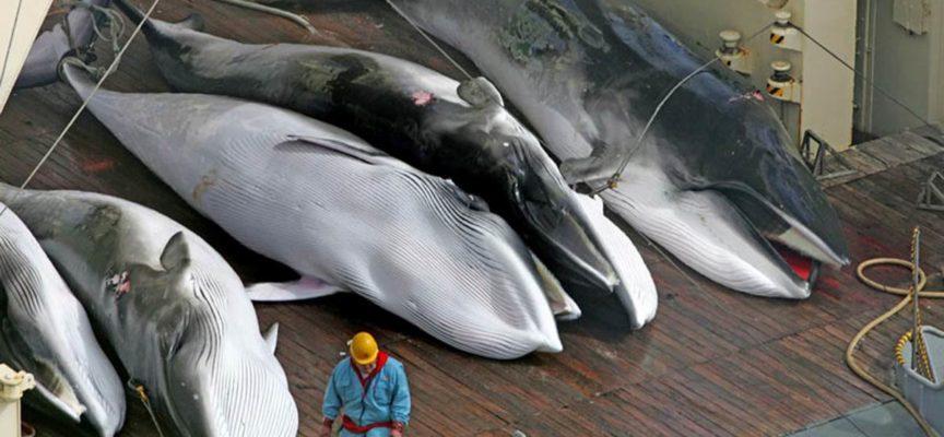Il Giappone riprende la caccia alle balene: un massacro senza fine