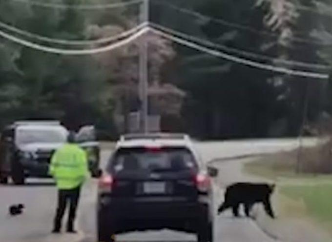 Mamma orso attraversa la strada avanti e indietro con i suoi cuccioli davanti un poliziotto