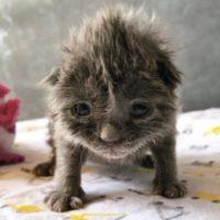 Gattino salvato con pochi giorni di nascita con i capelli più pazzi di tutto il web