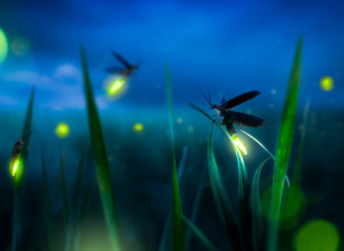 Le lucciole stanno scomparendo: uno spettacolo di luci sempre più raro