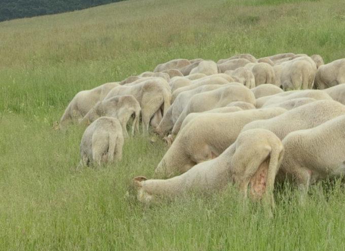 E' iniziata in Garfagnana la transumanza delle pecore bianche garfagnine