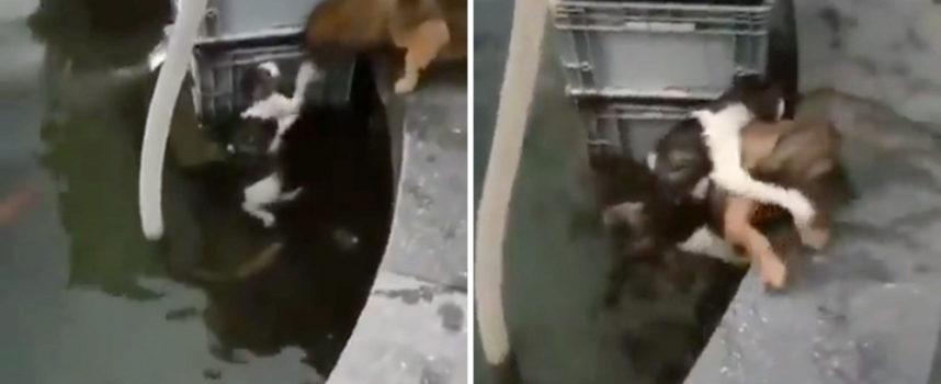 Un gatto cade in uno stagno di acqua ghiacciata, ma il suo eroico amico cane corre a salvarlo