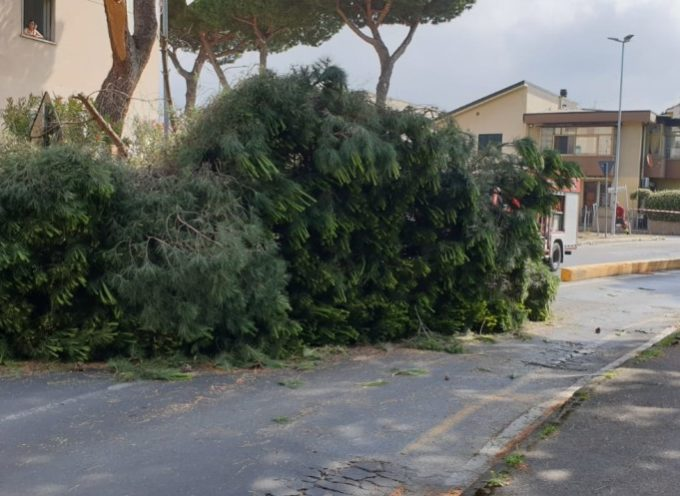 Pino cade e rischia di colpire motociclista; tragedia sfiorata a Viareggio