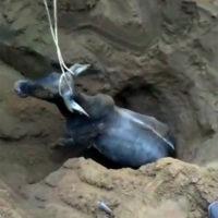 Una mucca finisce bloccata in un pozzo profondo oltre 3 metri e si fa di tutto per salvarla