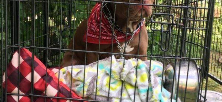 Pit Bull lasciato fuori dall'ospedale per animali, con una lettera allegata