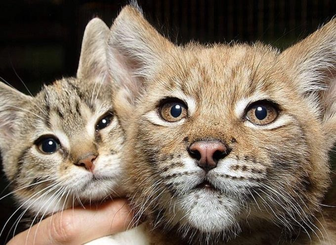 Gatto fa amicizia con una lince selvaggia e ora sono inseparabili da 12 anni