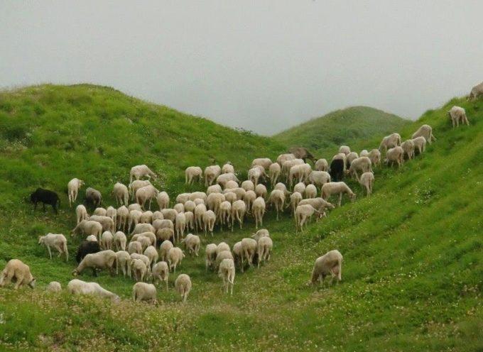 La Transumanza in Garfagnana, le pecore sono arrivate in Appennino e resteranno all'alpeggio fino alla fine dell'estate