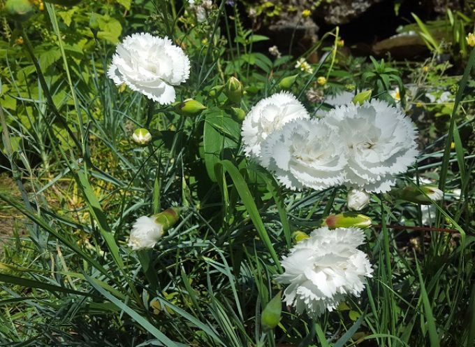I fiori della memoria: i garofanini della Nonna, i garofani antichi profumati…