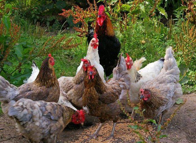 Anche gli abitanti del pollaio soffrono il caldo,