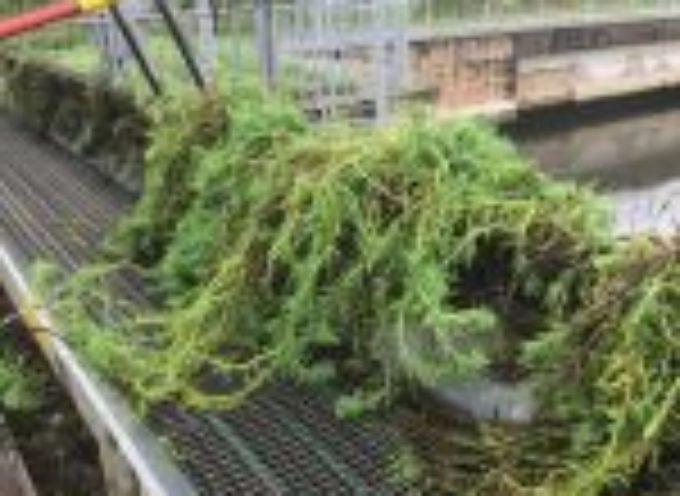 battaglia alle alghe strappate dalla piena nei canali di Pietrasanta e Capezzano