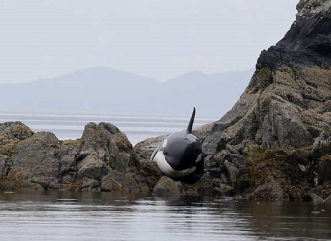 Orca intrappolata tra gli scogli, i soccorritori impiegheranno 6 ore per salvarla